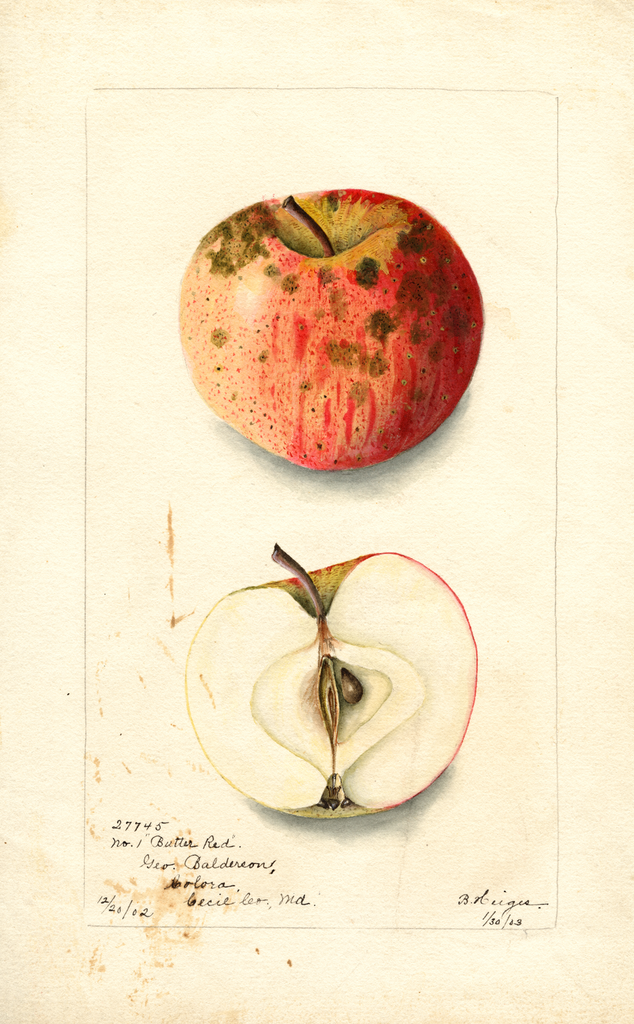 Apples, Butter Red (1903)