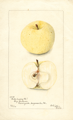 Apples, Butter Sweet Of Pennsylvania (1902)