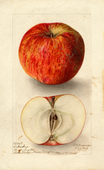 Apples, Cabashea (1904)