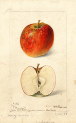 Apples, Brooks (1898)
