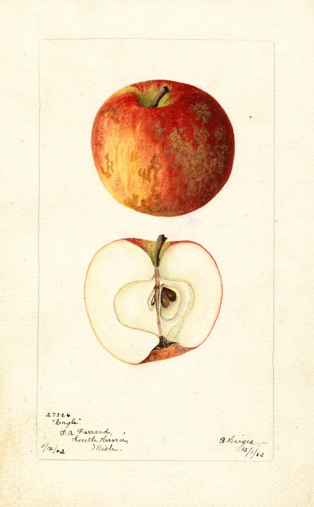 Apples, Cagle (1902)