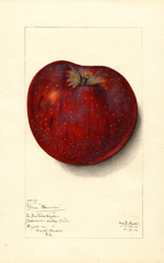 Apples, Blue Pearmain (1912)