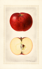 Apples, Blue Pearmain (1925)
