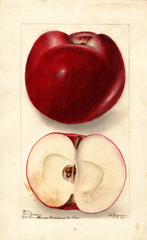 Apples, Blue Russian (1904)