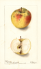 Apples, Blush Pippin (1901)