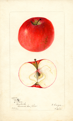Apples, Bortz (1901)
