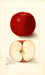 Apples, Bortz (1905)