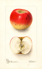 Apples, Bortz (1903)