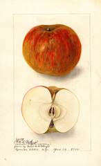 Apples, Belle De Boskoop (1905)