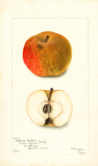 Apples, Belle De Boskoop (1902)