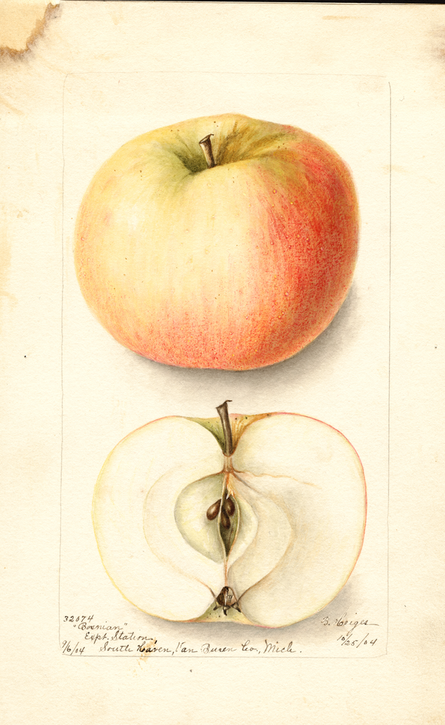 Apples, Bosnian (1904)