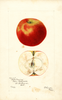 Apples, Bottle Greening (1901)
