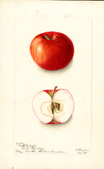 Apples, Boys Delight (1904)