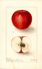 Apples, Brackett (1904)