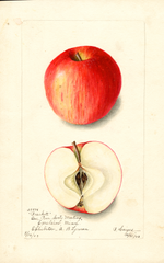 Apples, Brackett (1903)