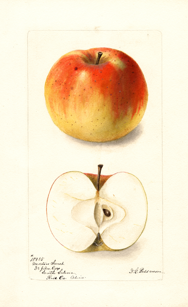 Apples, Mortons Sweet (1899)