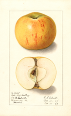Apples, Bramley (1908)