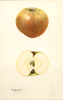 Apples, Bramley (1931)