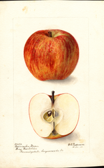 Apples, Brewington Pippin (1900)
