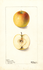 Apples, Bridgewater (1901)