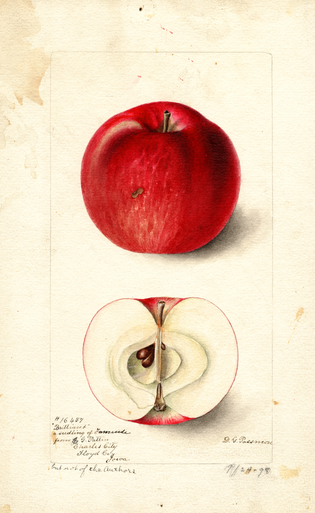 Apples, Brilliant (1898)