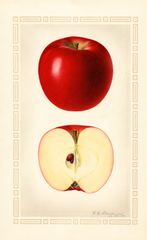 Apples, Baldwin (1924)