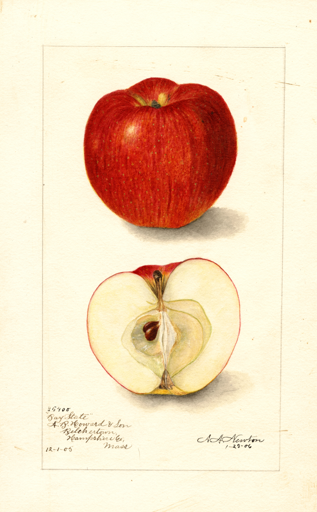 Apples, Bay State (1906)