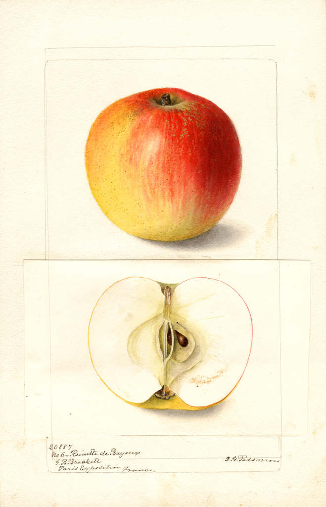 Apples, Reinette De Bayeux (1900)