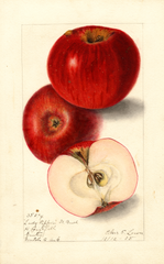 Apples, Lady Pippin; Beach (1905)