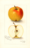 Apples, Cranberry Pippin (1908)