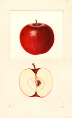 Apples, Beacon (1938)