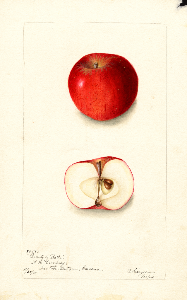 Apples, Beauty Of Bath (1904)