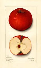 Apples, Bedford Red (1913)