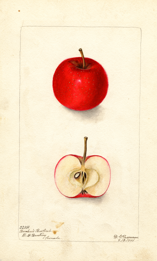 Apples, Beechers Red Crab (1901)