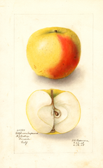 Apples, Bellflower Improved (1908)