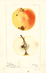 Apples, Belmont (1897)