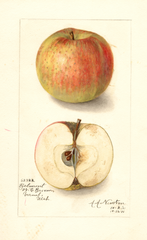 Apples, Belmont (1911)
