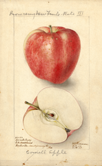 Apples, Cornell Fancy (1907)