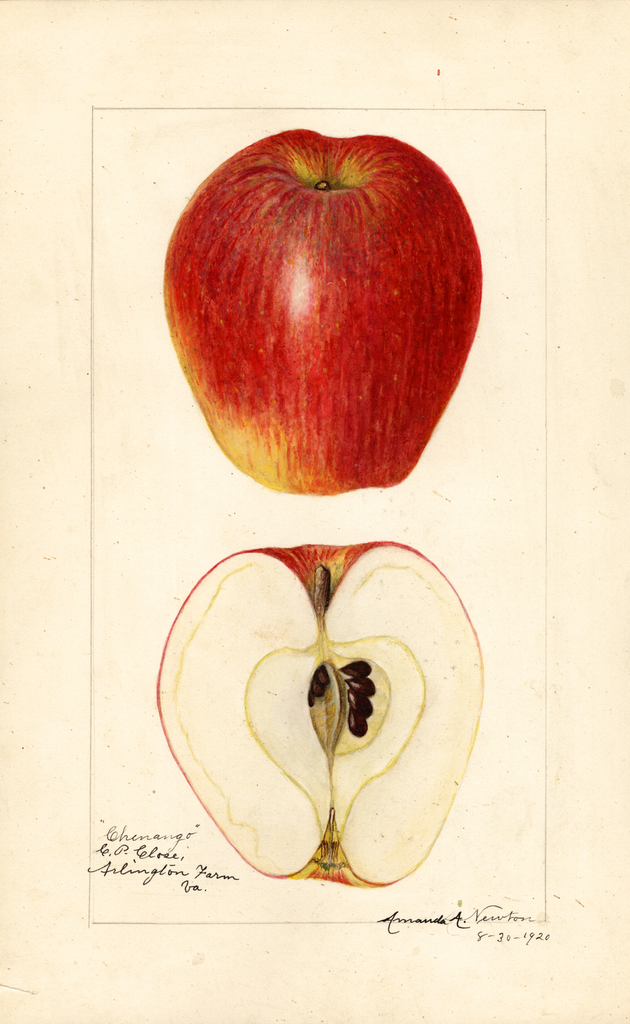 Apples, Chenango (1920)