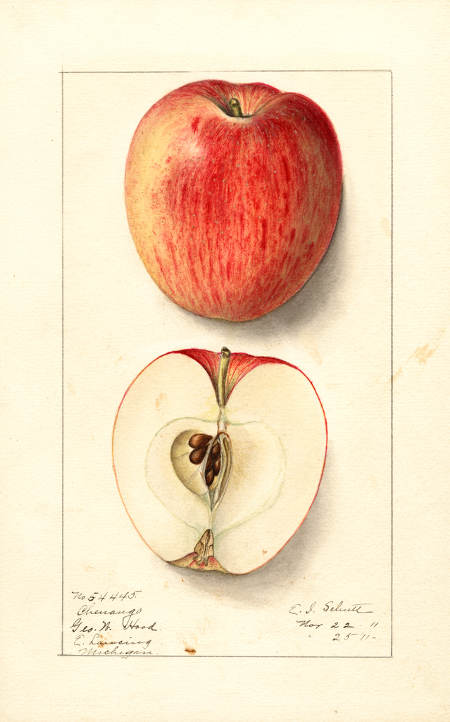Apples, Chenango (1911)