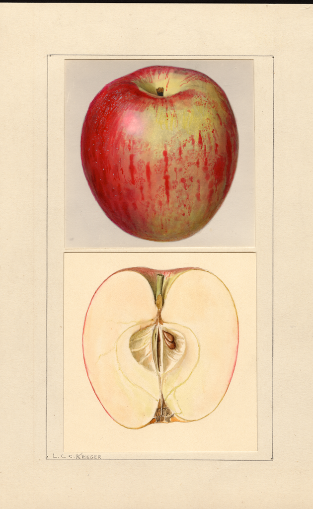 Apples, Chenango (1937)