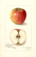 Apples, Cornell Fancy (1911)