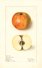 Apples, Davids Winter (1910)