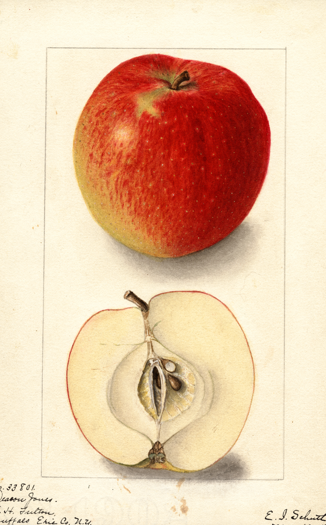 Apples, Deacon Jones (1905)