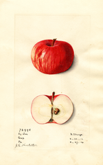 Apples, Early Joe (1914)