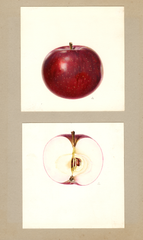 Apples, Early Mcintosh (1933)