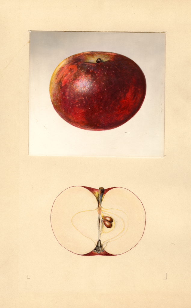 Apples, Early Mcintosh (1934)