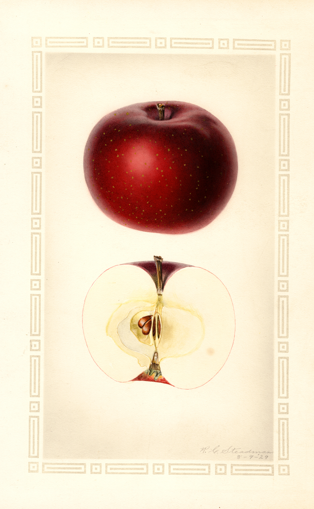 Apples, Early Mcintosh (1929)