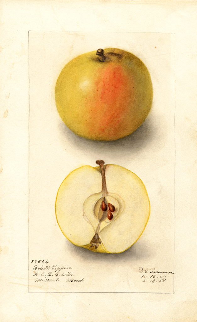 Apples, Bohill Pippin (1908)