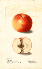 Apples, Mangum (1904)